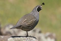 California Quail (Callipepla californica) (uncle.dee9600) Tags: bird nikon telephoto quail californiaquail callipeplacalifornica nikond7200
