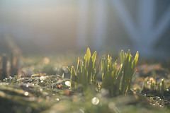 Rebirth (DHaug) Tags: morning green sunrise garden spring bokeh explore dew april getty fujifilm rebirth gettyimages sprouting narcissus 2016 explored sooc xpro2 xf56mmf12r