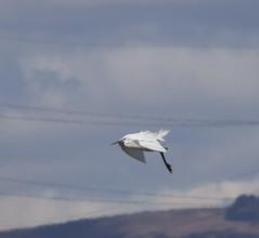 Egret (7) (Mal.Durbin Photography) Tags: nature birds newport naturereserve newportwetlands maldurbin goldcliffnewport