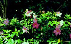 longwood gardens / mamiya m645 (bluebird87) Tags: mamiya film gardens kodak epson 100 v600 longwood ektar m645