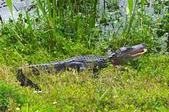 DSC_0105 (james_tolson) Tags: florida crane wildlife gators sandhill sandhillcranes alligators