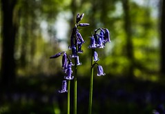 bluebells (In=Sight) Tags: