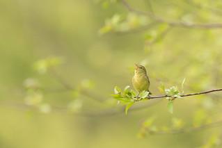 Orange-crowned warbler- Sous le ciel de Victoria