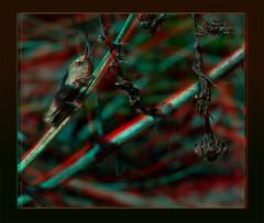 Grasshopper In Hiding 1 - Anaglyph 3D (DarkOnus) Tags: macro closeup insect lumix stereogram 3d pennsylvania anaglyph panasonic stereo grasshopper hiding stereography buckscounty dmcfz35 darkonus