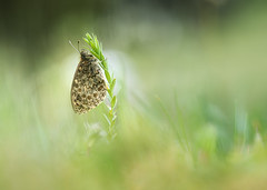 Lasiommata Magera II (too15) Tags: macro spring spain bokeh butterflies olympus galicia mariposas omd ourense em5 lasiommatamagera mzuiko60macro