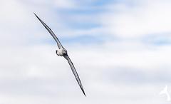 Juvenile Shy Albatross. (Trevor Scouten) Tags: trevor shy juvenile albatross scouten