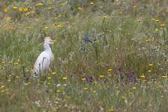 Cattle Egret (ToriAndrewsPhotography) Tags: flowers portugal photography spring andrews cattle algarve tori egret