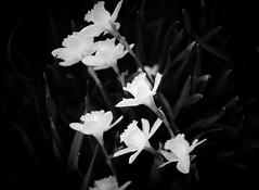 Contrast. (RayBanzPhotography) Tags: flowers blackandwhite bw flower nature monochrome contrast nikon fuji rj zoom bokeh x mount adapter tamron boke f28 2875mm xe1 mirrorless xmount