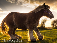 It's like a lovely Teddy Bear (Freddy Juhl) Tags: sunset horses horse orange nature field grass animals speed outdoors photography seasons wildlife pony ponies strength majestic mothernature wildhorses equine mane dyr solnedgang togethernes goldentones rstider bspringmaraprmaj thesoulofhorses