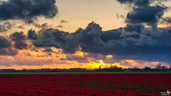 My Favorite Subjects, Tulips and Sunset (BraCom (Bram)) Tags: trees sunset sky cloud holland church netherlands clouds canon evening zonsondergang bomen tulips widescreen nederland wolken tulip nl avond sunrays 169 kerk tulpen wolk zuidholland goereeoverflakkee tulp sommelsdijk southholland zonnestralen canonef24105mm bracom canoneos5dmkiii
