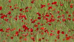 couleurs printanires (Philis.Nat) Tags: fleurs canon rouge extrieur printemps champ verte herbe coquelicots gramines eos7d