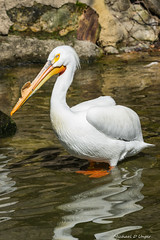 John Ball Zoo Pelicans-2016-1.jpg (scorpio71gr) Tags: bird pelicans animal outdoors zoo unitedstates pentax michigan grandrapids k3 johnballzoo da60250f4