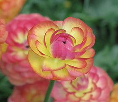 Ranunculus in the Beds at Longwood. (qt flickr) Tags: longwoodgardens spring2016