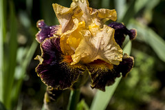 Lirio (seguicollar) Tags: madrid iris flower planta rojo flor amarillo lirio vegetal jardnbotnico nikond5200 virginiasegui