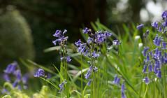 Blues (SteveJM2009) Tags: uk light sun colour bluebells woodland spring focus dof bokeh dorset april stevemaskell kingstonlacy 2016