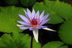 water lily (Hugo von Schreck) Tags: flower waterlily blume seerose onlythebestofnature tamron28300mmf3563divcpzda010 canoneos5dsr