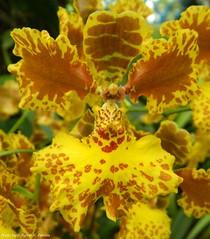 Oncidium gardneri (Sylvio-Orqudeas) Tags: flowers flores orchids orchidaceae species oncidium orqudeas gardneri espcies