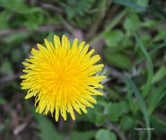 30-IMG_9929 (hemingwayfoto) Tags: gelb blume blte lwenzahn blhen