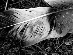Wet Fringe (dawn_macroart) Tags: texture monochrome lines contrast outdoors arty feather organic patternraindrops