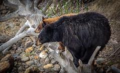 Bear Balance (eddm1962) Tags: bear yellowstone yellowstoneriver blackbears yellowstonenp cinnamonbear sowandcub cinnamoncub blackbearsowandcub balancingbears