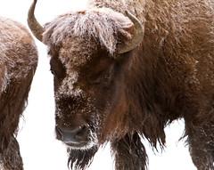 Bison near Elk Park (YellowstoneNPS) Tags: winter wildlife yellowstonenationalpark yellowstone