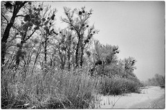 Dignity and sublimity (medbiker1965) Tags: vienna wien schnee winter snow tree silhouette analog forest landscape branches hiver nieve au natur bosque rbol photowalk trunk mistletoe sw mf invierno silueta viena ste tronco wald gui arbre baum fort prater vienne misteln laneige stamm ramas fotowalk minoltaxd7 murdago fotospaziergang letronc mcminoltarokkor1740 ilfordfp4plus12513536 mcminoltarokkor174