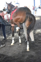 2015-12-13 (54) r5 #1 Ermine and Purrs (JLeeFleenor) Tags: photos photography md marylandracing marylandhorseracing laurelpark horses thoroughbreds equine equestrian cheval cavalo cavallo cavall caballo pferd paard perd hevonen hest hestur cal kon konj beygir capall ceffyl cuddy yarraman faras alogo soos kuda uma pfeerd koin حصان кон 马 häst άλογο סוס घोड़ा 馬 koń лошадь maryland