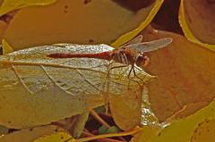 Frhe Heidelibelle, Sympetrum fonscolombii, Mnnchen (staretschek) Tags: heidelibelle sympetrumfonscolombii frheheidelibelle segellibelle groslibelle
