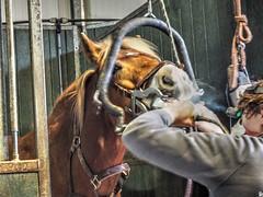P1290056 (gill4kleuren - 11 ml views) Tags: horse sarah dentist haflinger tandarts 2015