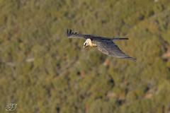 Gypate barbu (Tifaeris) Tags: bird oiseau accipitriformes beardedvulture gypaetusbarbatus gypatebarbu accipitrids