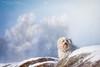 Waiting for snow (buchsammy) Tags: schnee winter wild dog pet animal germany deutschland action herbst wiese mais hund ralf braun blau dezember mika schwarzwald auge rennen haustier tier schmutz 2012 acker havanese malt weis bitzer wuschel maiskolben lebensfreude canonef70200mmf40lusm langhaar havaneser canoneos50d hunderasse wildheit besterfreund schlosshund verrückt buchsammy schwarzwaldbaar hüfingen sonnenscheinn stürmisch ungestüm