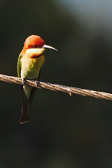 KV4A7128 Chestnut-headed Bee-eater - Rustbider - Merops leschenaulti (I appreciate all the faves and visits many thanks) Tags: india birds kerala indien valparai fugle athirappally solveigsterschrder chestnutheadedbeeeaterrustbidermeropsleschenaulti