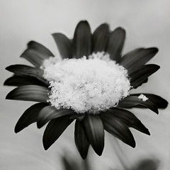 a patch of snow (1crzqbn) Tags: bw snow flower macro square frozen bokeh depthoffield textures serene 1crzqbn