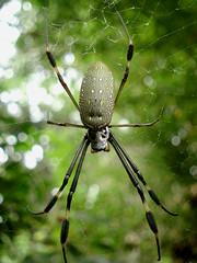 Araa seda dorada - Nephila clavipes. (Pop Martian) Tags: naturaleza nature mxico spider araa morelos macrophotography tepoztln macrofotografa