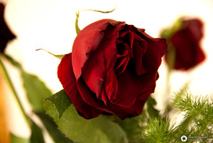 Red Rose (alessandro.spagnolli) Tags: red stilllife flower macro love rose rosa tamron svalentino