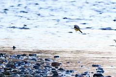 Bergeronnette des ruisseaux (Motacilla cinerea) (yann.dimauro) Tags: france animal fr extrieur oiseau rhone rhnealpes givors ornithologie