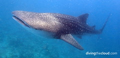 Whale shark - Tiburn ballena (divingthecloud) Tags: sea fish pez shark mar agua diving whaleshark maldives tiburon buceo maldivas fotosub tiburonballena bajoelagua