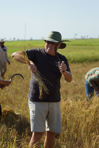 Rice Harvest Ron