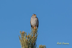 White-crowned Sparrow (rich_downs) Tags: newmexico sanantonio del us apache unitedstates bosque sparrow nwr whitecrowned