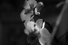 #orchids (Kaushik41) Tags: flowers blackandwhite nature monochrome orchids shadowplay lightandshadow depthofifled