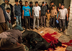 slaughter of a bull during a wedding, Qeshm Island, Tabl , Iran (Eric Lafforgue) Tags: wedding people men childhood animal horizontal kids night children religious outdoors cow blood asia kill iran killing muslim islam traditional ceremony knife culture traditions marriage persia folklore meat celebration butcher tabi arab slaughter custom groupofpeople cultures cultural sacrifice islamic middleeastern persiangulf cruel sunni qeshmisland menonly hormozgan tabl  bandari  5people  iro straitofhormuz  colourpicture  irandsc02866