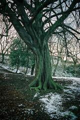 0090_15 (www.cjo.info) Tags: park winter sunlight snow plant tree slr mamiya film weather 35mm garden scotland flora edinburgh europe kodak unitedkingdom analogue newtown citycenter europeanunion londonroad westerneurope wintermorning geolocation wintersunshine kodakportra160 mamiyanc1000s londonroadgardens geo:country=unitedkingdom geo:city=edinburgh geo:state=scotland exif:make=fujiphotofilmcoltd royalterracegardens camera:make=fujiphotofilmcoltd camera:model=sp3000 exif:model=sp3000 geo:lon=31795583333333 geo:lat=55957402777778 mamiyasekorcs28mmf28