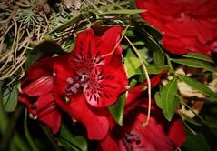 (S.Hence :-) Germany) Tags: red flower rot love nature outdoor natur indoor geburtstag bouquet blume geschenk liebe nofilter blumenstraus