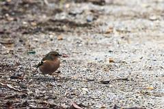 Pinson des arbres (Fringilla coelebs) (yann.dimauro) Tags: france animal fr extérieur oiseau rhone faune rhônealpes givors ornithologie