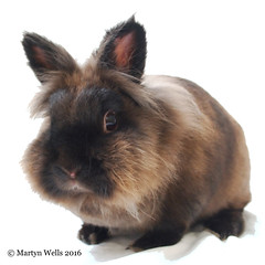 Week 3-52 2016 (mpw1421) Tags: portrait pet rabbit nikon whitebackground lionhead d60 wk352 522016edition netherlanddwarfcross 522016