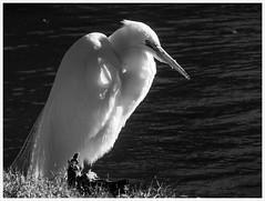 Egret Chief (karith) Tags: blackandwhite bw bird egret colony waterbirds greatwhiteegret karith bayfarmisland niksilverefexpro