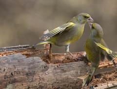 04 02 2016 (cathyk31) Tags: bird oiseau carduelischloris europeangreenfinch verdierdeurope fringillids passriformes