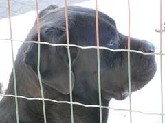 profilo canino... (cerbiatta 0712) Tags: dog chien black cane friend noir profile hund ami devil nero schwarz freund diavolo diable cucciolone enorme amico teufel profilo molossoide amicofedele sessantachilididolcezza