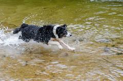 Lara rover dog (mcvmjr1971) Tags: travel dog beach brasil swim fun 50mm nikon collie play sopaulo border joy run cachorro viagem litoralnorte sosebastio barradouna prais f18d lensnikkor d7000 mmoraes