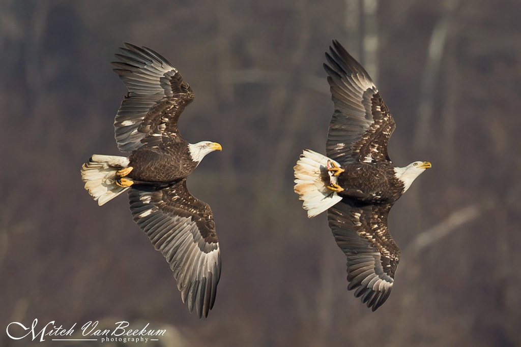 The Chase! (American Bald Eagles)